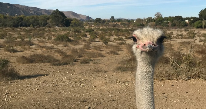 I'm Still Laughing About OstrichLand USA